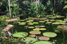 lily pads ponds - seattle acupuncture